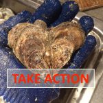 Act Now! Maryland Should Override Veto of Oyster Management Bill