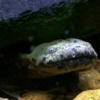 Conservation groups to sue over failure to protect Pa.'s state amphibian, the hellbender
